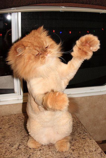 Persian Cat Lion Cut : persian, Sweet