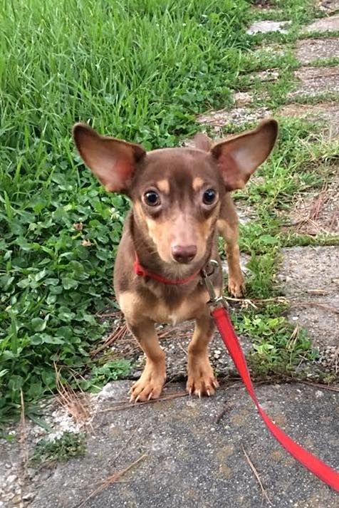 Chiweenie Dog For Adoption In Baton Rouge La Adn 678541 On