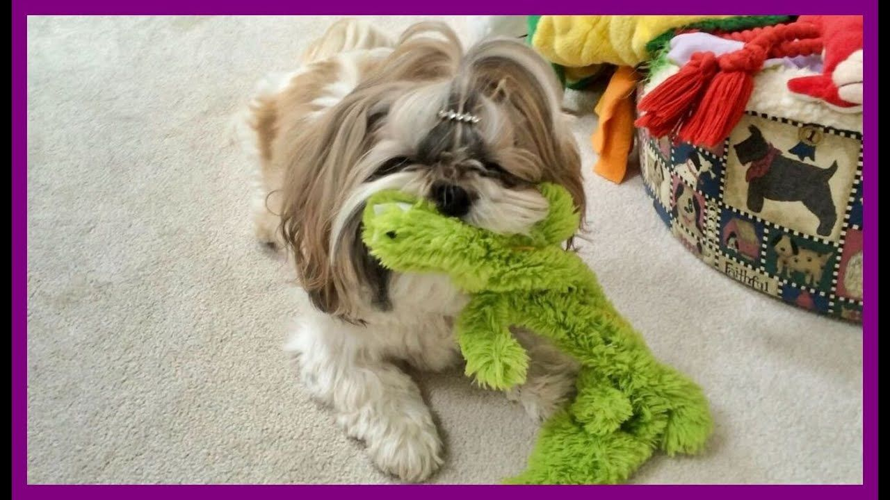 Pin On Lacey Shih Tzu On Youtube