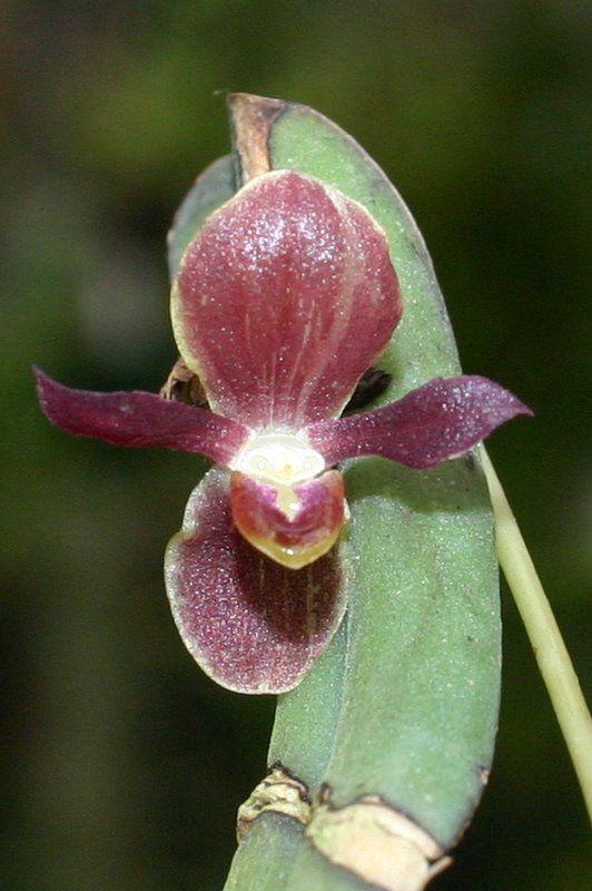 Pleurothallis Nipterophylla Synonym Pleurothallis Penelops Cool To Warm Growing Minature Epiphyte Plant Catalogs Growing Orchids Beautiful Blooms
