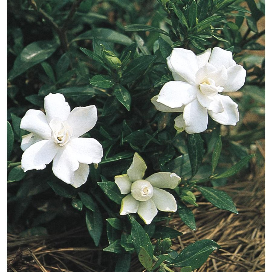 8 Lowes 2 5 Quart White Radicans Dwarf Gardenia Flowering