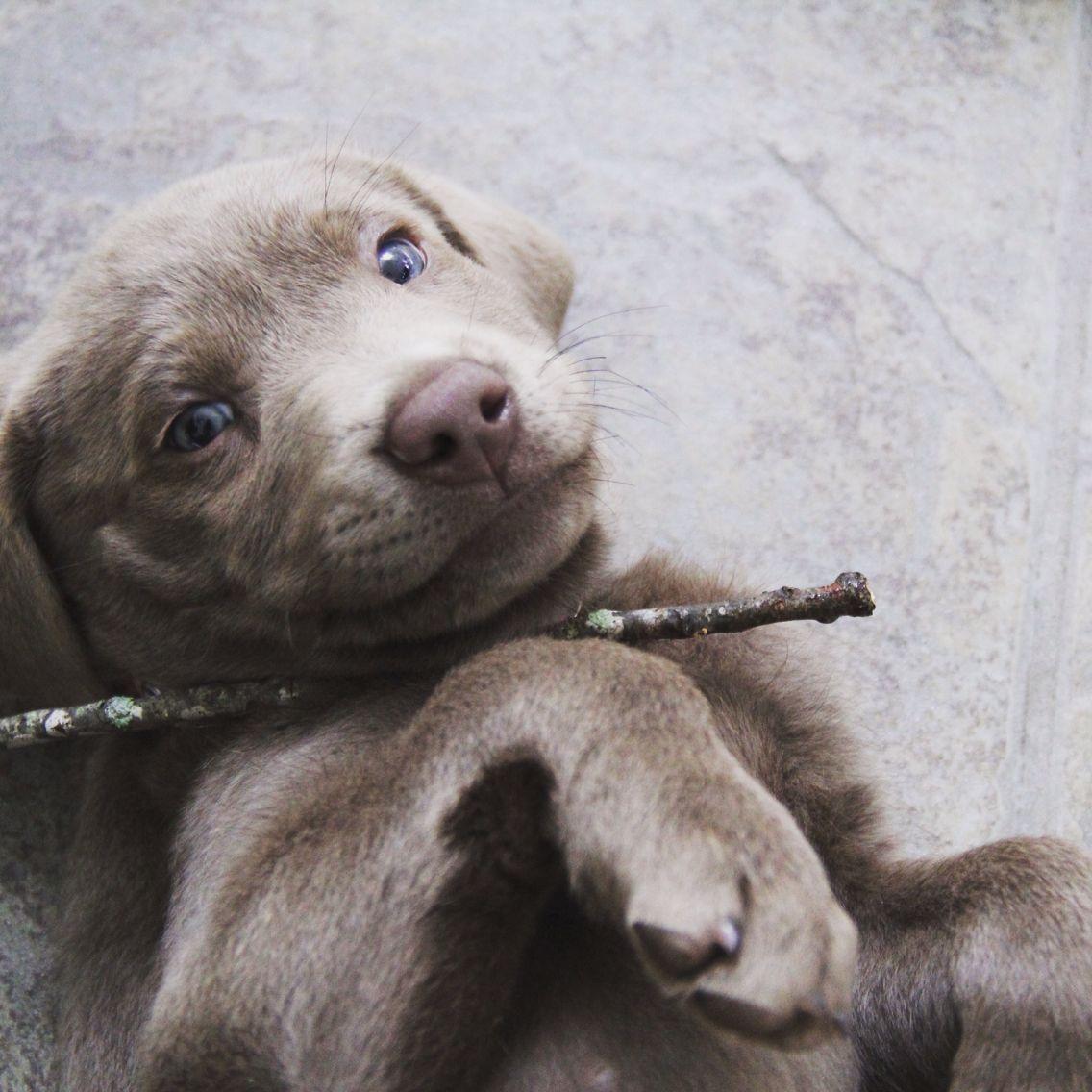 Silver Labrador Littler of puppy's for sale in Virginia
