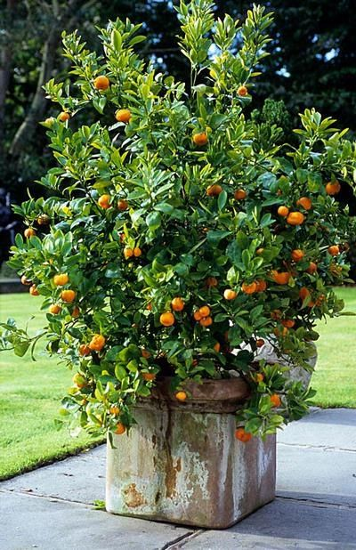 Mandarine Tree Potted Plants Outdoor Potted Trees Citrus Trees