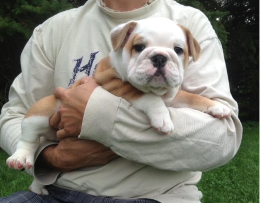 Vidics Bullies Ontario Bulldog Breeder Such Cute Dogs Bulldog Fur Babies Cute Dogs