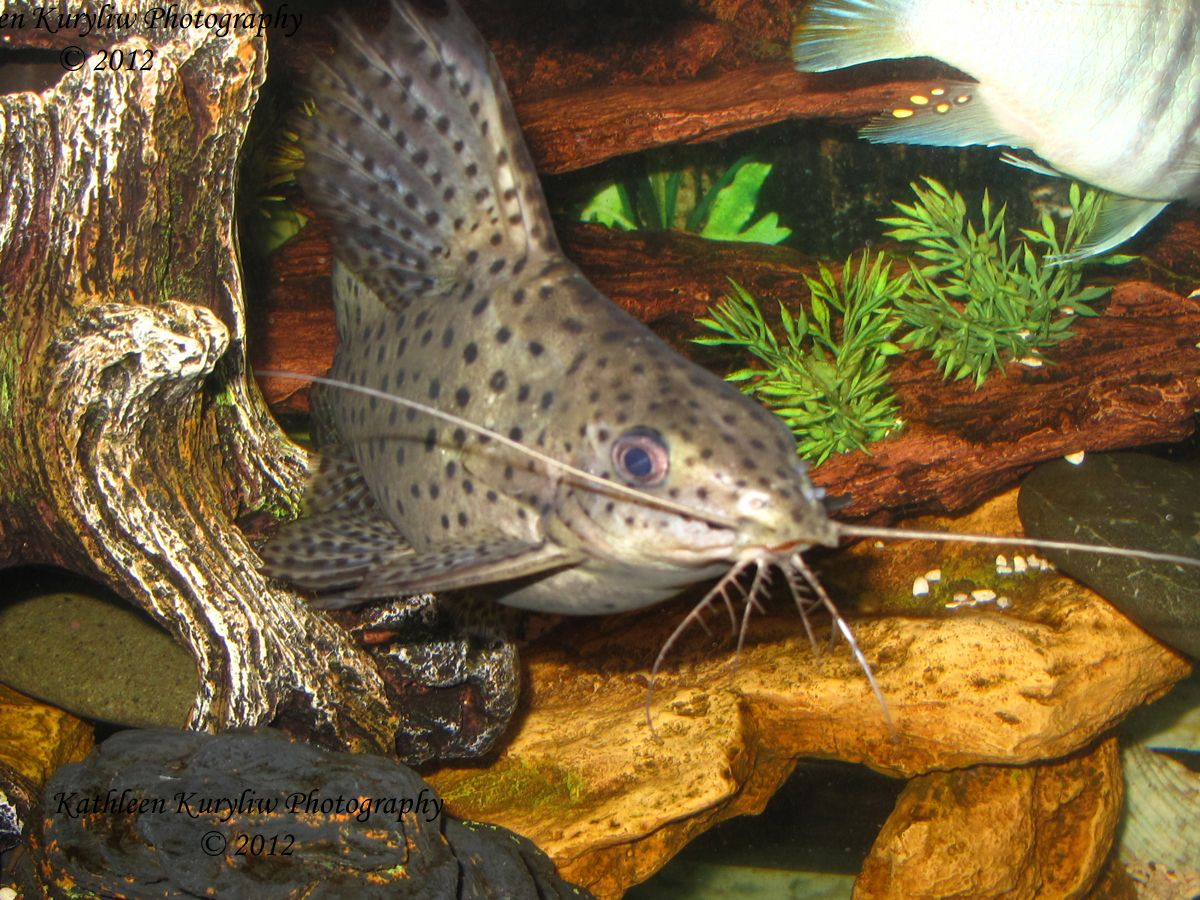 Upside Down Catfish In My Tank With The African Cichlids He Keeps It Clean African Cichlids Cichlid Fish Aquarium Fish Tank