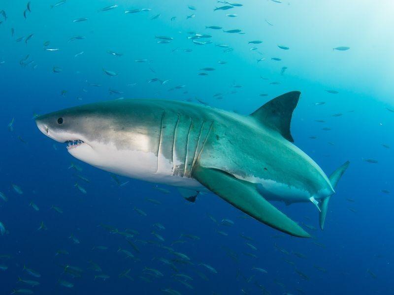 Weißer Hai Länge