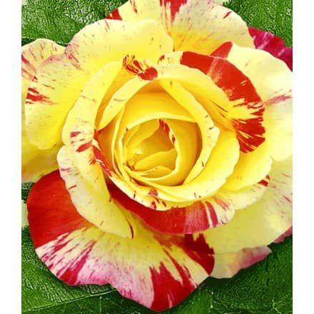 Duftrosen - BALDUR-Garten GmbH | Roses | Pinterest | Rose