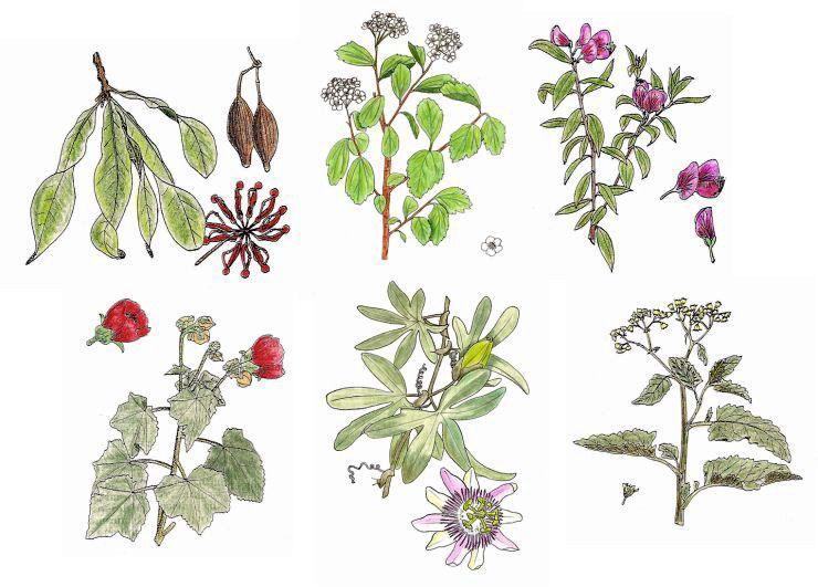 Dibujos De Plantas Plantas Medicinales Dibujos De Plantas Medicinales Plantas
