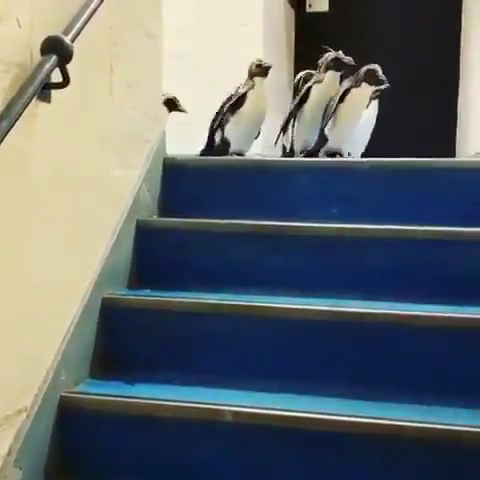 Photo of How penguins go down stairs
