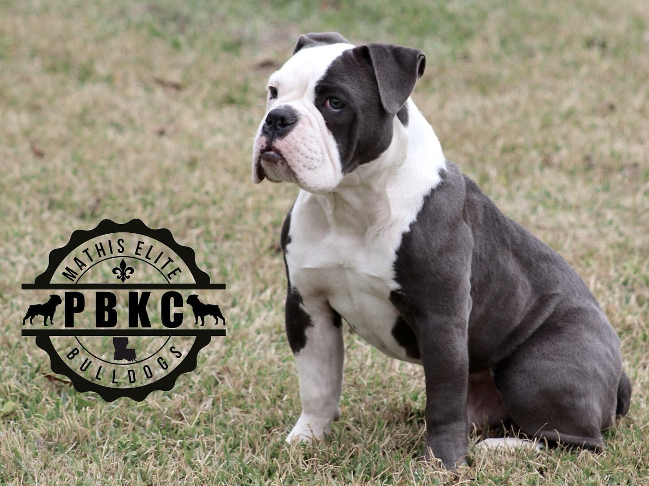 What A Handsome Boy Old English Bulldog Bully Breeds