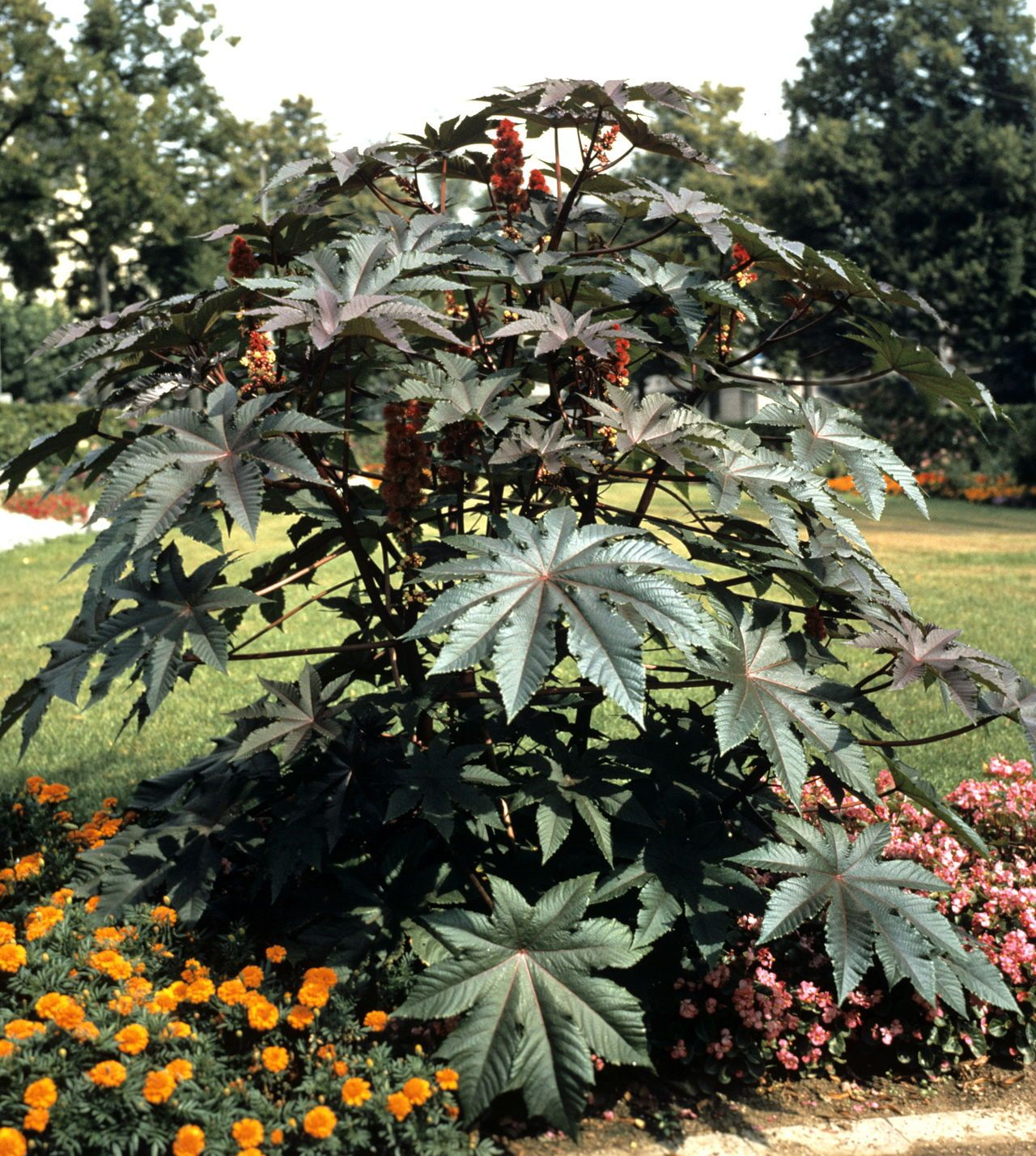 Things No One Tells You About The Castor Bean Plant Castor Beans
