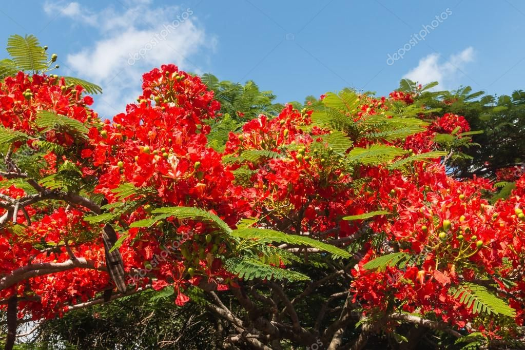 Closeup De Acacia Arbol De Flores Rojas Tree With Red Flowers Red Flowers Acacia Tree