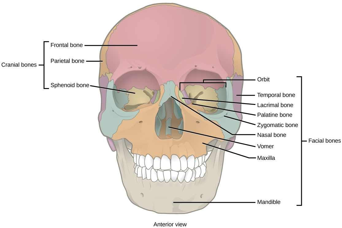 Cranial bones, orbital break down | human body | Pinterest | Human body