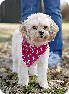 Portsmouth, RI - Maltese/Poodle (Miniature) Mix. Meet Parker a Dog for Adoption.