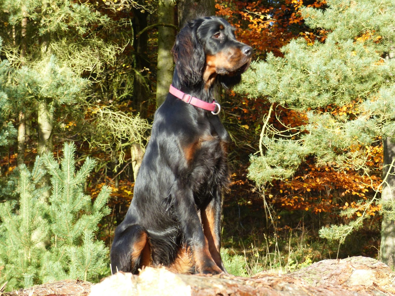 Galerie In 2020 With Images Gordon Setter Dogs Animals