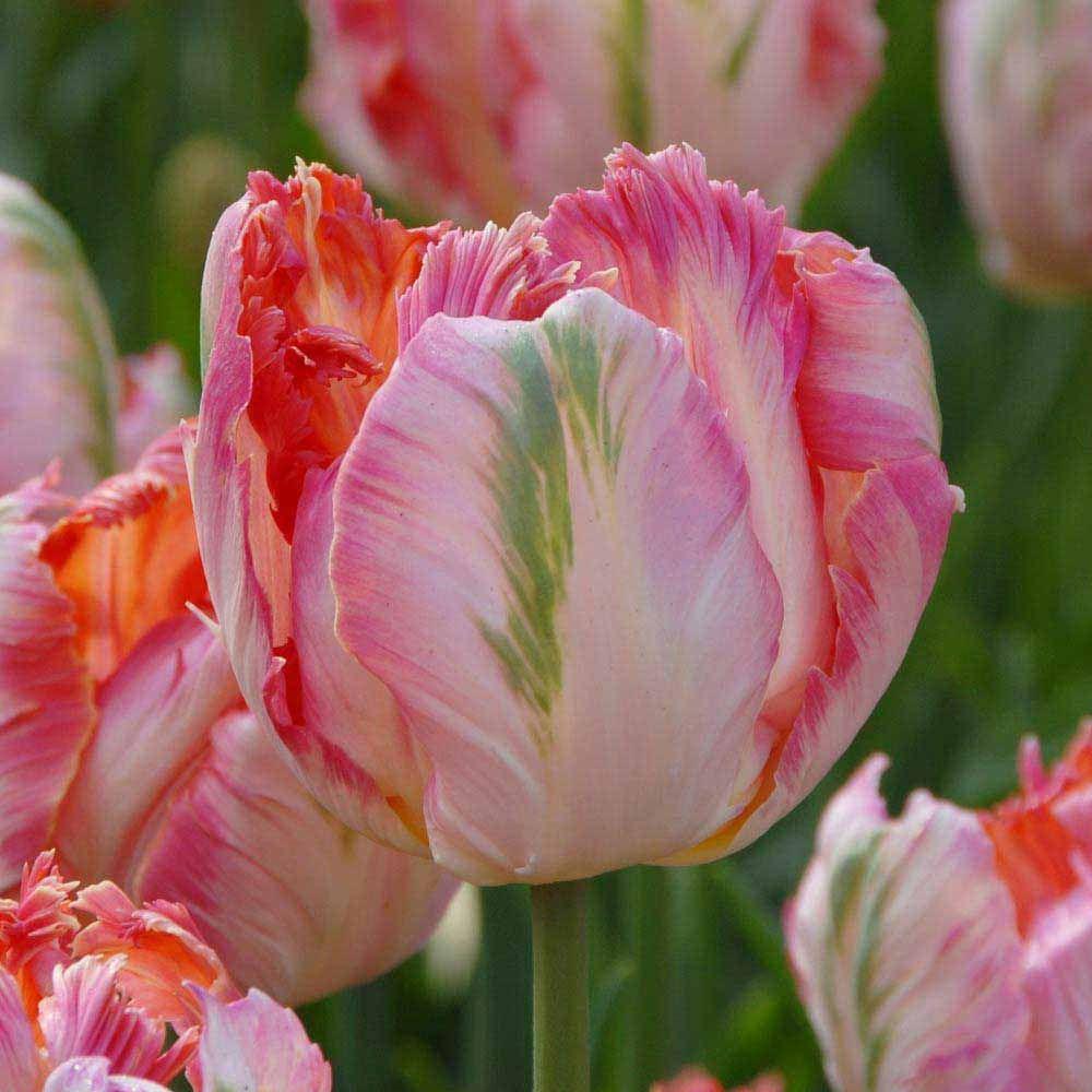 http://www.vanmeuwen.com/flowers/flower-bulbs/tulips/tulip ... - photo #48