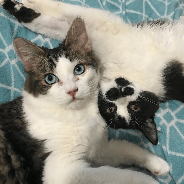 Meet Haiku And Sonnet Adorable Kittens With Tibial Hemimelia Who Are Looking For Their Forever Home Kittens Cutest Foster Cat Kittens