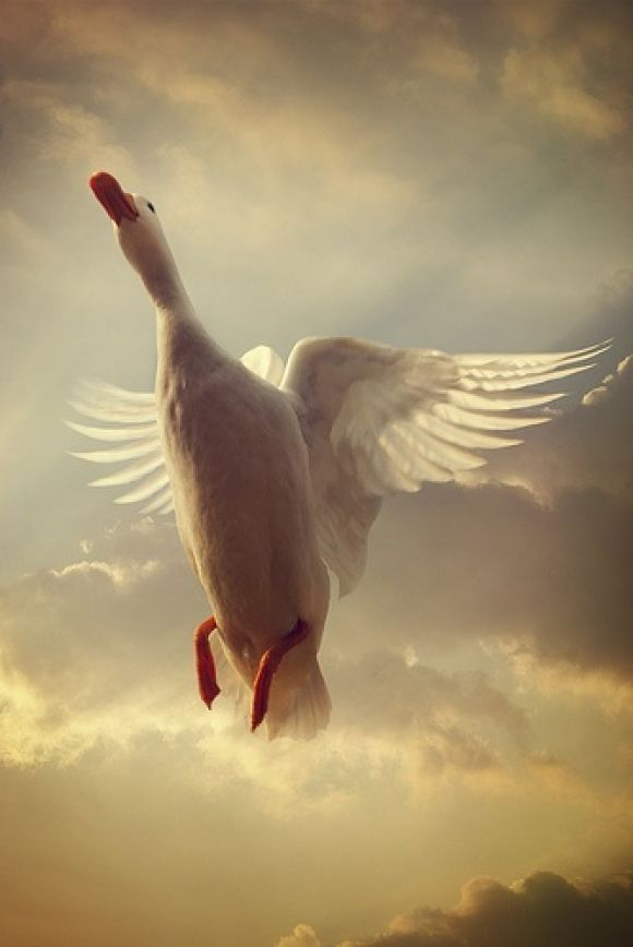 a beautiful white duck flying