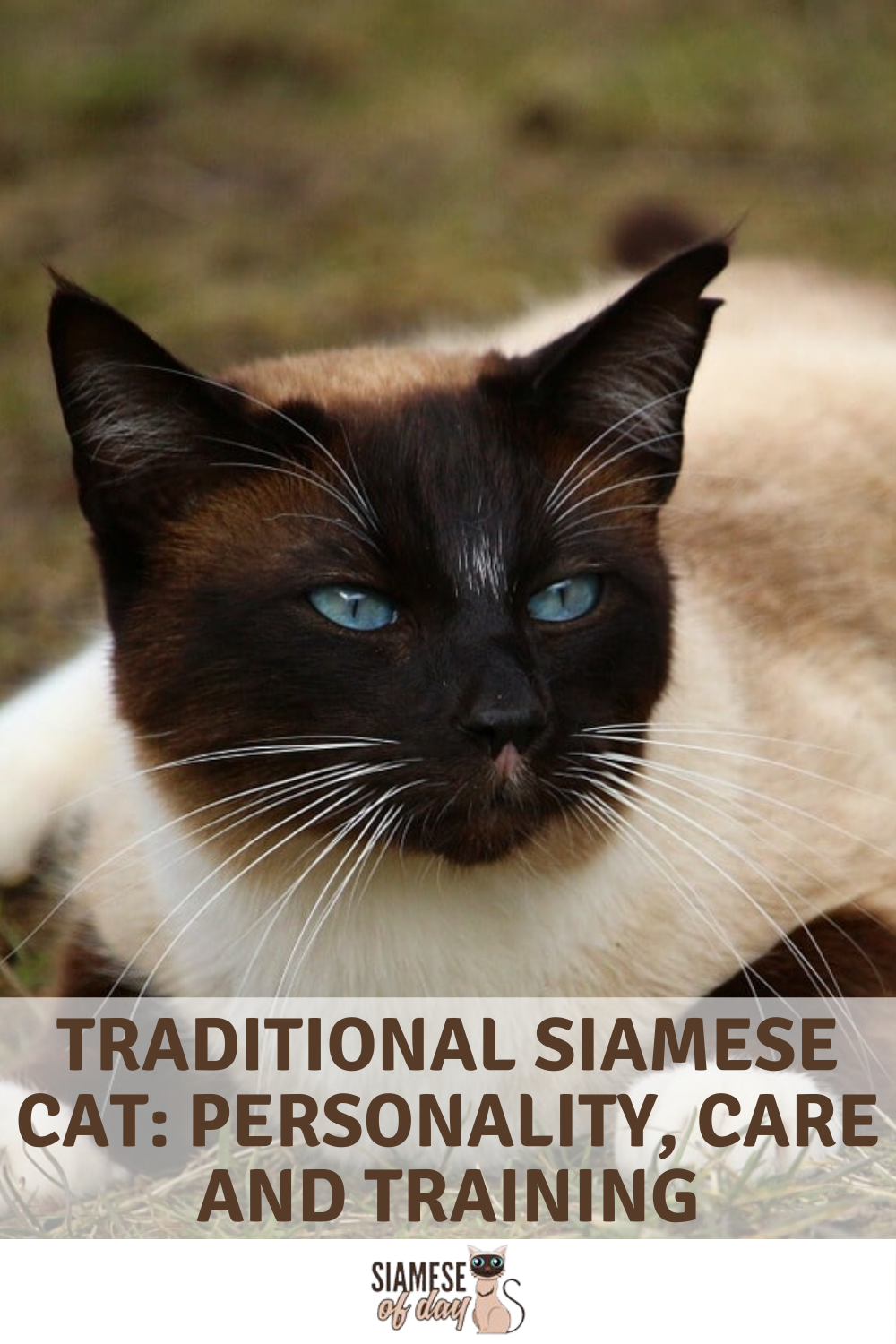 Pin on Siamese Of Day Official