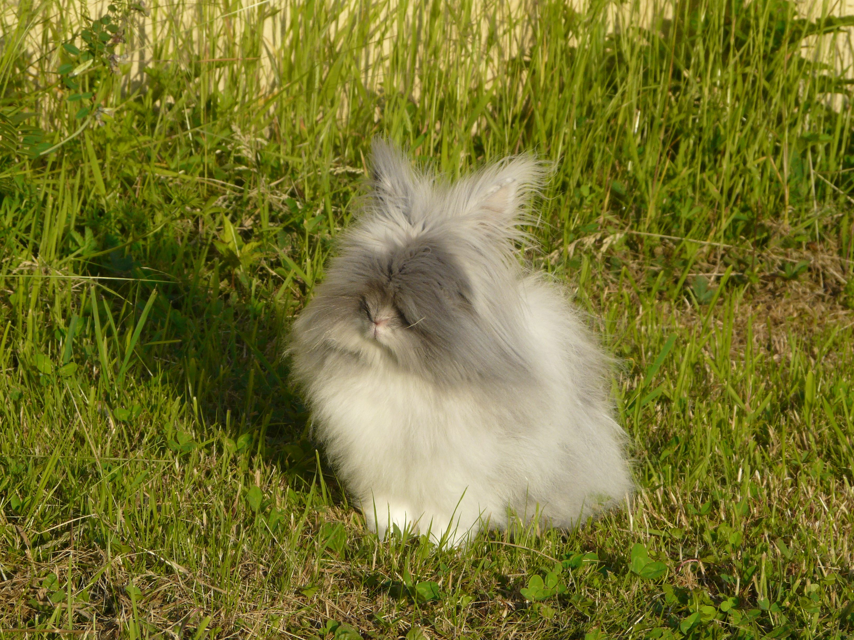 Gribouille, mon petit lapin nain angora qui prend le soleil