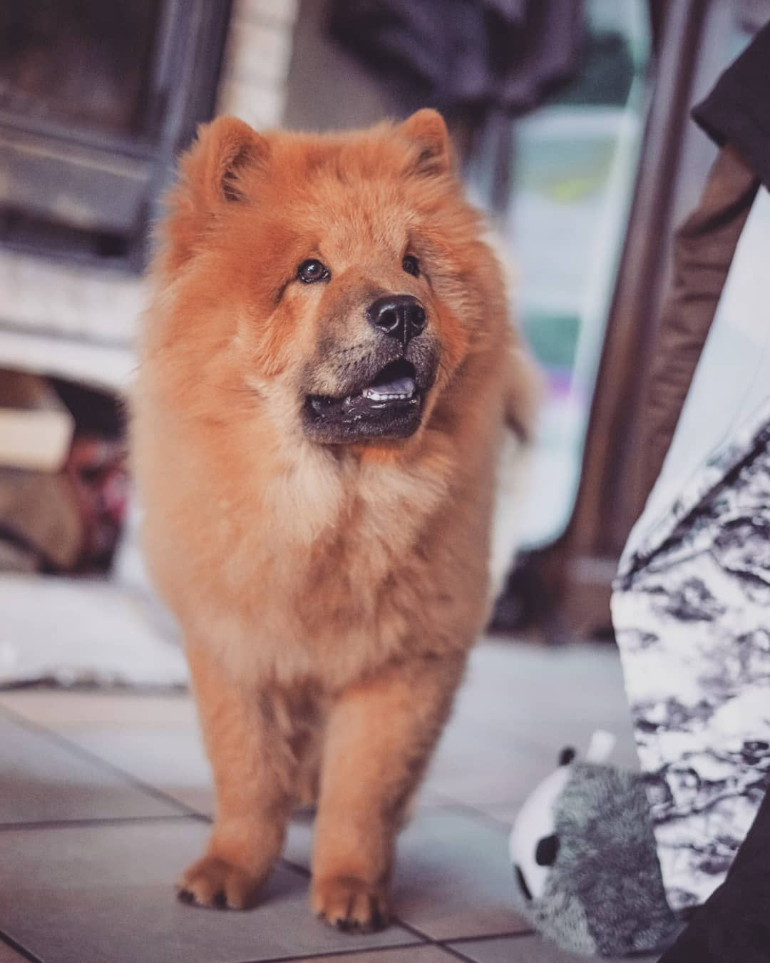 Pin By Debi Ellis On Chow Chow Dogs In 2020 Chow Chow Dogs Chow