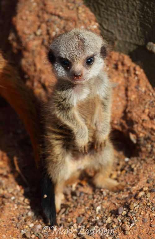 Meerkats are some of the most interesting animals to watch!