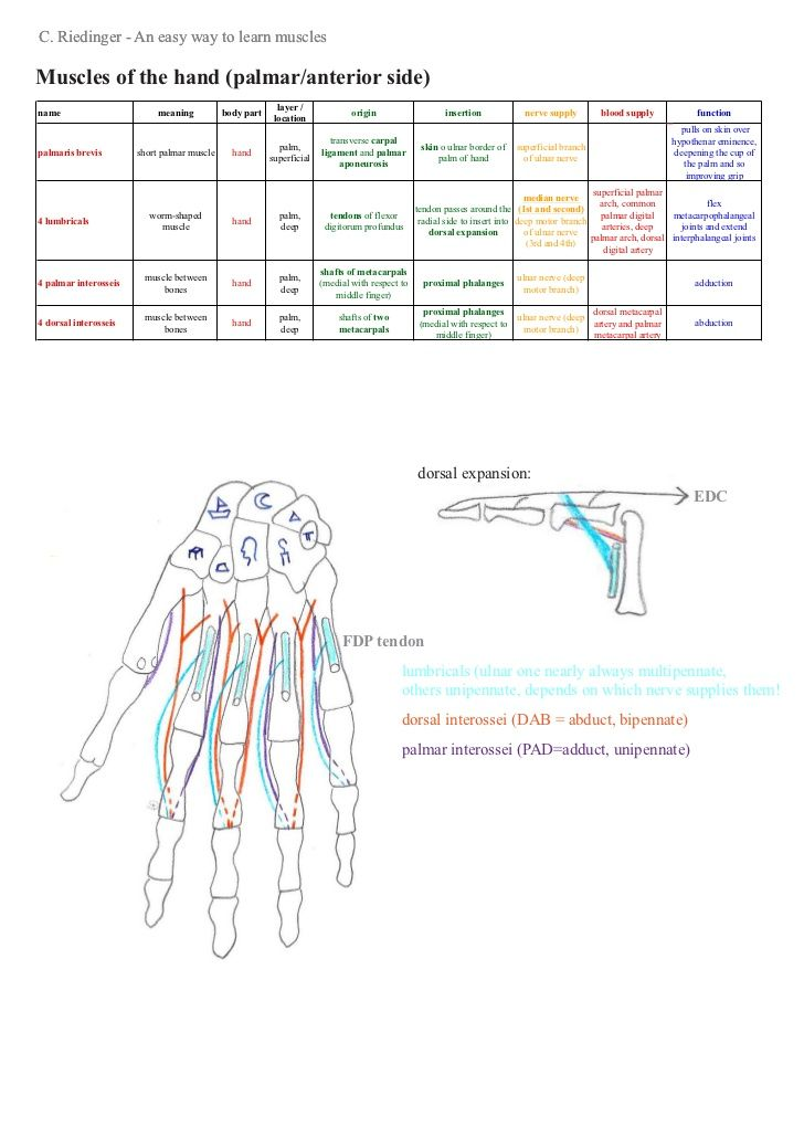 An Easy Way To Learn Upper Limb Muscles Ot Orthopedic Pinterest