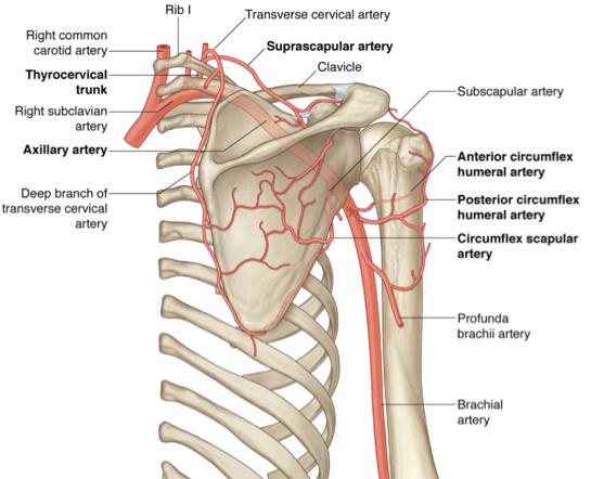 Image result for posterior circumflex artery   boards- helpful pics ...