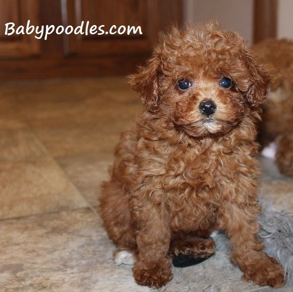 Puppies For Sale Tea Cup Tiny Toy Toy Poodles Illinois Poodle