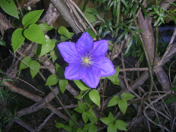 LUV Clematis