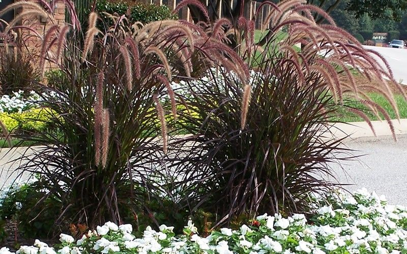 Landscaping With Purple Fountain Grass Com Members