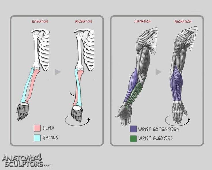 Drawing Illustration Arms Human Anatomy Art Reference Animation
