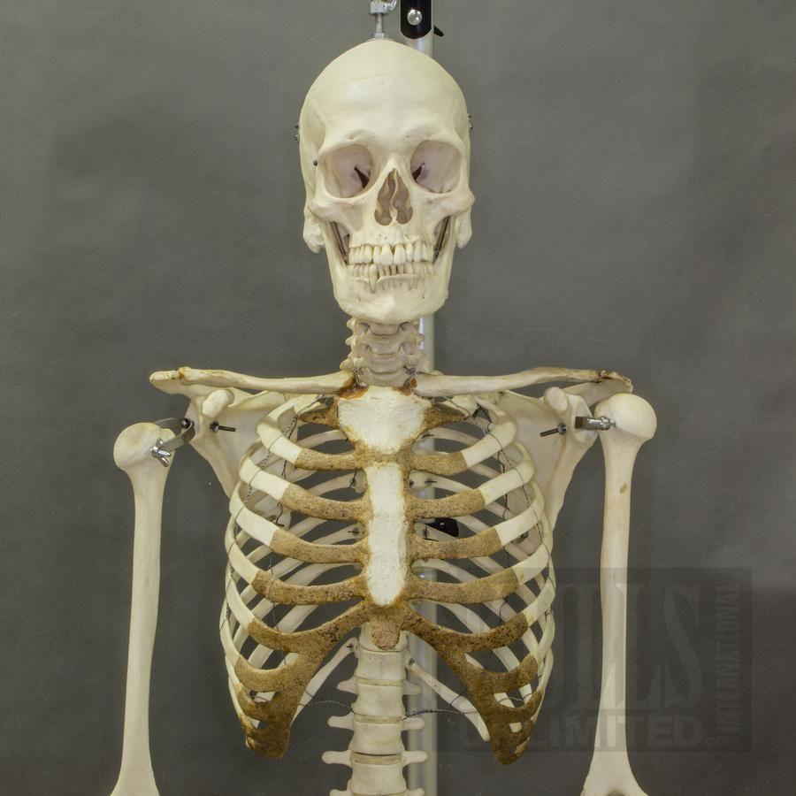 Image Result For Real Human Skeleton Human Bones Pinterest