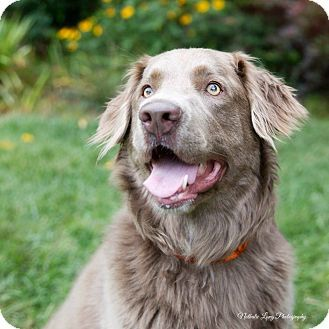 Image Result For Chesapeake Bay Retriever Mix Retriever Mix Old Golden Retriever Super Cute Animals