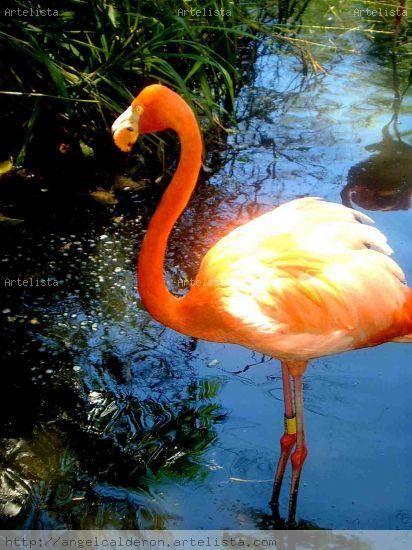 Flamenco rosado...