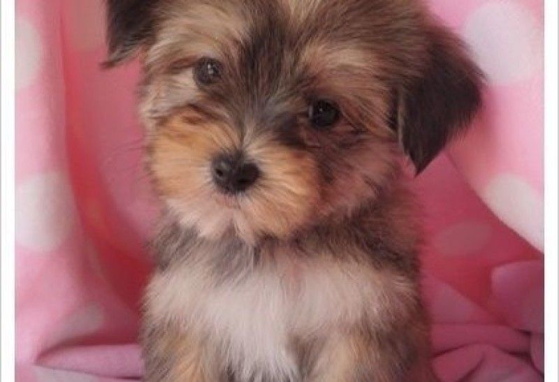 Classy Pets Colorado Yorkie Maltese And Morkie Puppies For Sale