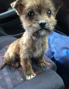 Morkie Puppies For Sale Near Me Craigslist