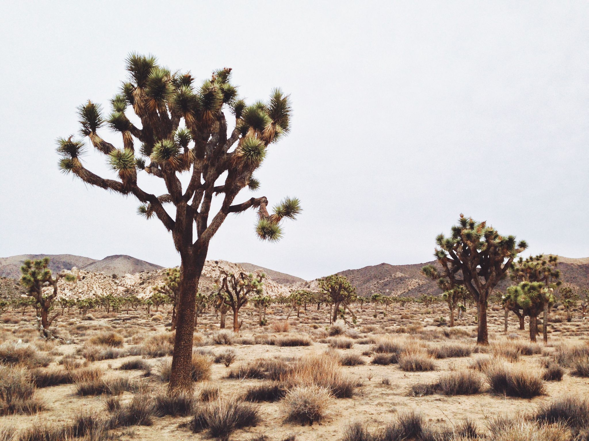 Joshua Trees - Joshua Trees