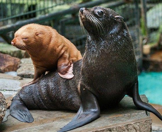 Filhote de lobo-marinho albino e sua mãe em zoológico da Alemanha.