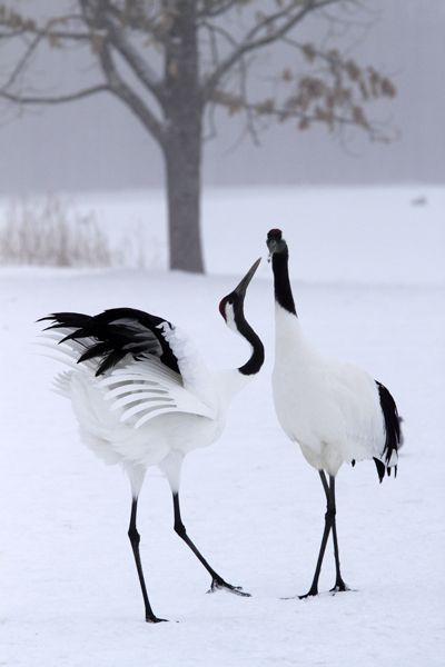 Loons And Turtles And Cranes Oh My >> Japanese Crane In The Winter Time Nobles Of Japan Used To Eat