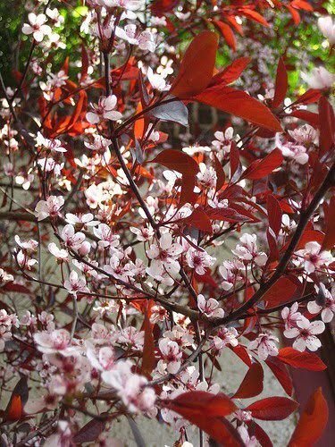 Just Picked Up Multiple Sand Cherry Bushes For My Scarlet And Grey Themed Backyard Purple Leaf Sand Cherry Next Garden Flower Garden
