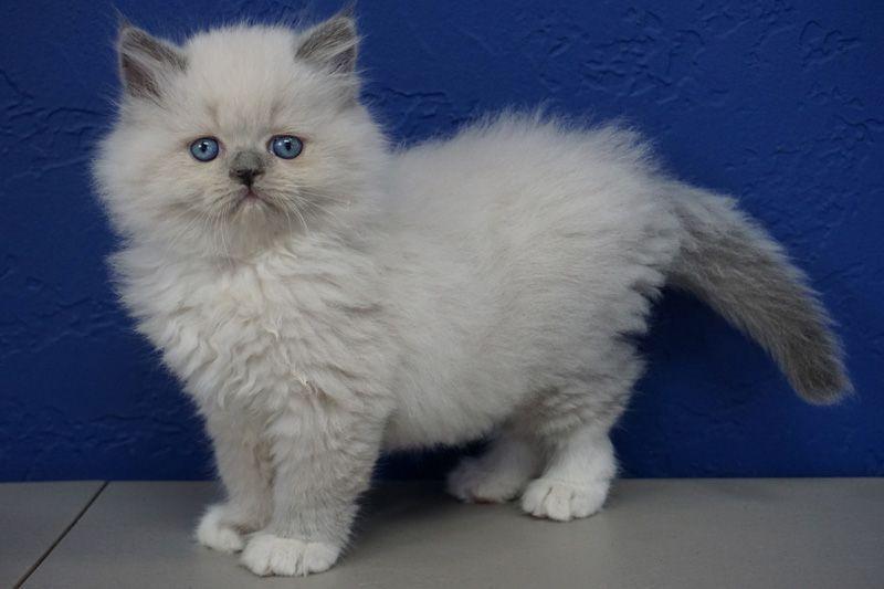 Park Art My WordPress Blog_Persian Kittens For Sale In Cincinnati Ohio