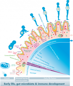 The first 1000 days of intestinal microbiota - Gut