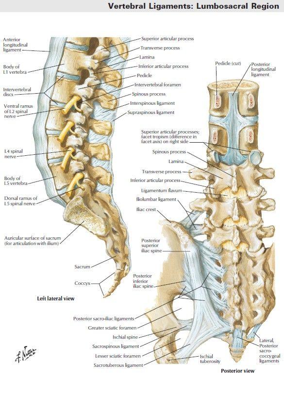Human Skeleton   Human Skeleton   Pinterest   Anatomía