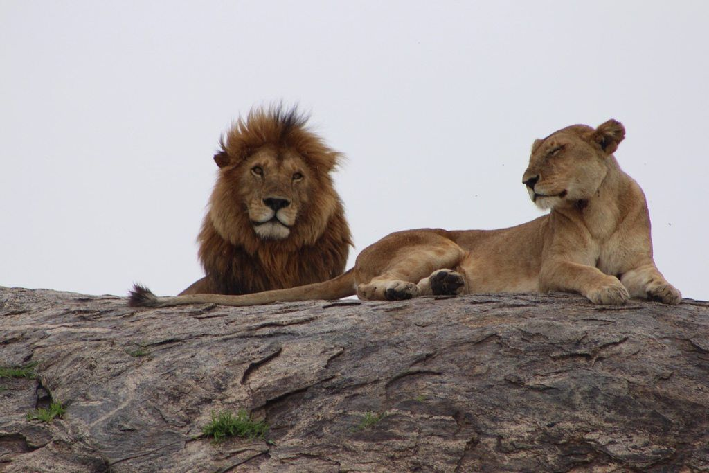 Lions in Tanzania [5184 x 3456] [OC]