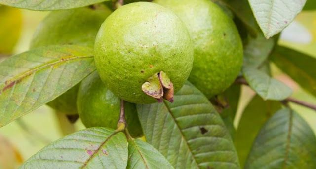 These Leaves Clear Stomach Ulcers Guava Benefits Guava Leaves