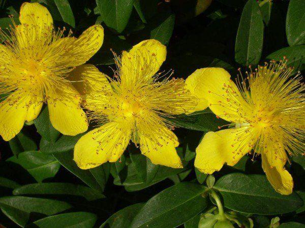 El hiperico y sus propiedades curativas plantas for Planta decorativa con propiedades medicinales
