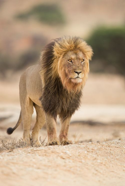 Aslan of Narnia by Marlon du Toit