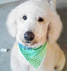 Adopt Il The Foz Adopted On F1b Labradoodle Labradoodle