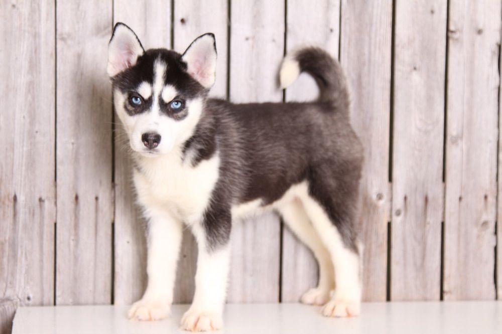 Alaska Adorable Ckc Husky Husky Puppy Husky Puppies For Sale